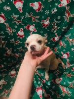 Boston Terrier Puppies for sale in Hapeville, GA, USA. price: NA