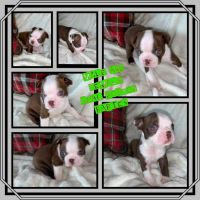 Boston Terrier Puppies for sale in New Orleans, LA, USA. price: NA