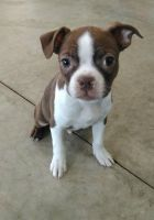 Boston Terrier Puppies for sale in Hansville, WA, USA. price: NA