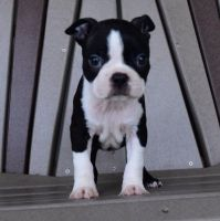 Boston Terrier Puppies for sale in Peachtree City, GA, USA. price: NA