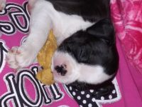 Boston Terrier Puppies for sale in Pflugerville, TX, USA. price: NA
