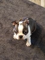 Boston Terrier Puppies for sale in Crossville, TN 38571, USA. price: NA