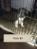 Boston Terrier Puppies for sale in Montgomery, IN 47558, USA. price: NA