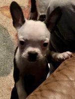 Boston Terrier Puppies for sale in Pennington Gap, VA 24277, USA. price: NA