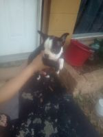Boston Terrier Puppies for sale in Jacksonville, FL 32210, USA. price: NA