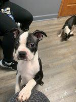Boston Terrier Puppies for sale in Calhoun, GA, USA. price: NA
