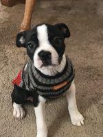 Boston Terrier Puppies for sale in Kansas City, MO 64118, USA. price: NA