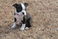 Boston Terrier Puppies for sale in Lawrenceville, GA, USA. price: NA
