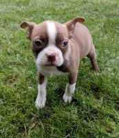 Boston Terrier Puppies for sale in Jacksonville, FL, USA. price: NA