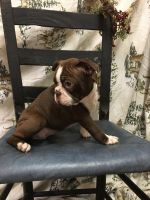 Boston Terrier Puppies for sale in Loogootee, IN 47553, USA. price: NA