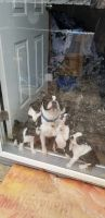 Boston Terrier Puppies for sale in Enfield, IL 62835, USA. price: NA