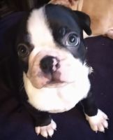 Boston Terrier Puppies for sale in Stow, OH, USA. price: NA