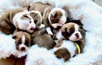 Boston Terrier Puppies for sale in Winter Garden, FL 34787, USA. price: NA