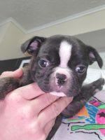 Boston Terrier Puppies for sale in Dandridge, TN, USA. price: NA