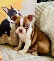Boston Terrier Puppies for sale in Coulterville, IL 62237, USA. price: NA