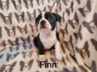 Boston Terrier Puppies for sale in Butler, PA, USA. price: NA