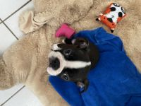 Boston Terrier Puppies for sale in Tampa, FL, USA. price: NA