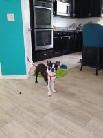 Boston Terrier Puppies for sale in St Cloud, FL, USA. price: NA