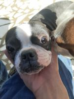 Boston Terrier Puppies for sale in Downey, CA 90242, USA. price: NA