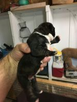 Boston Terrier Puppies for sale in Whitewater, MO 63785, USA. price: NA