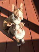 Boston Terrier Puppies for sale in Spartanburg, SC, USA. price: NA