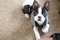 Boston Terrier Puppies for sale in West Jordan, UT, USA. price: NA