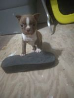 Boston Terrier Puppies for sale in Rockport, TX 78382, USA. price: NA
