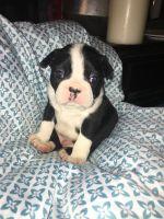 Boston Terrier Puppies for sale in Morganton, NC 28655, USA. price: NA