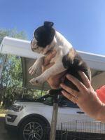 Boston Terrier Puppies for sale in Seminole, TX 79360, USA. price: NA