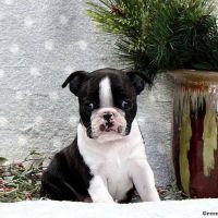 Boston Terrier Puppies for sale in California City, CA, USA. price: NA