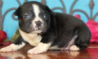 Boston Terrier Puppies for sale in Pittsburgh, PA, USA. price: NA
