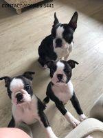 Boston Terrier Puppies for sale in Houston, TX, USA. price: NA