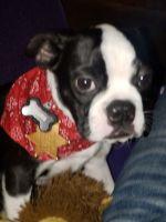 Boston Terrier Puppies for sale in Minneapolis, MN, USA. price: NA