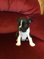 Boston Terrier Puppies for sale in Lansing, MI, USA. price: NA