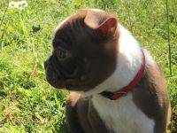 Boston Terrier Puppies for sale in Shrewsbury, MA, USA. price: NA