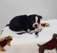 Boston Terrier Puppies for sale in Greenwood, SC, USA. price: NA