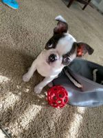 Boston Terrier Puppies for sale in Hartford, CT, USA. price: NA