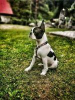 Boston Terrier Puppies for sale in Richmond, VA, USA. price: NA