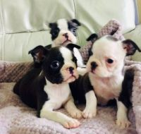 Boston Terrier Puppies for sale in Oakland, CA, USA. price: NA