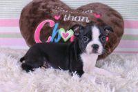 Boston Terrier Puppies for sale in Philadelphia, PA, USA. price: NA