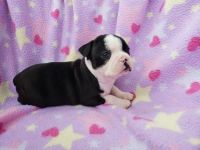 Boston Terrier Puppies for sale in Las Vegas Convention Center, 3150 Paradise Rd, Las Vegas, NV 89109, USA. price: NA