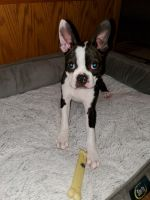 Boston Terrier Puppies for sale in Conway, SC 29526, USA. price: NA