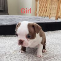 Boston Terrier Puppies for sale in Salinas, CA, USA. price: NA