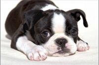 Boston Terrier Puppies for sale in Miami, FL, USA. price: NA