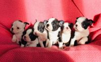 Boston Terrier Puppies for sale in San Francisco, CA, USA. price: NA