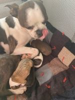 Boston Terrier Puppies for sale in Big Stone City, SD 57216, USA. price: NA