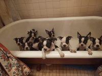 Boston Terrier Puppies for sale in Hawkinsville, GA 31036, USA. price: NA