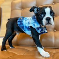 Boston Terrier Puppies for sale in Heartland Trail, Ebro, FL 32437, USA. price: NA