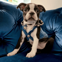 Boston Terrier Puppies for sale in Oregon City, OR 97045, USA. price: NA