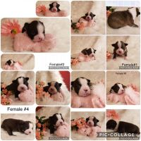Boston Terrier Puppies for sale in Beebe, AR 72012, USA. price: NA